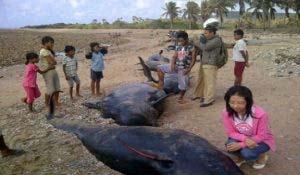 44 Ekor Ikan Paus Terdampar di Sabu